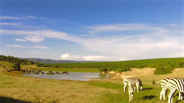 Zebras eating at waterhole