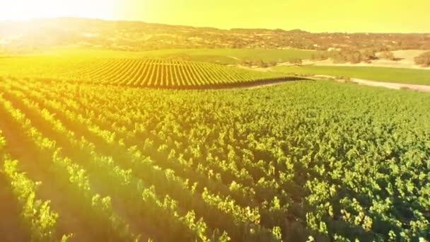 vinice při západu slunce