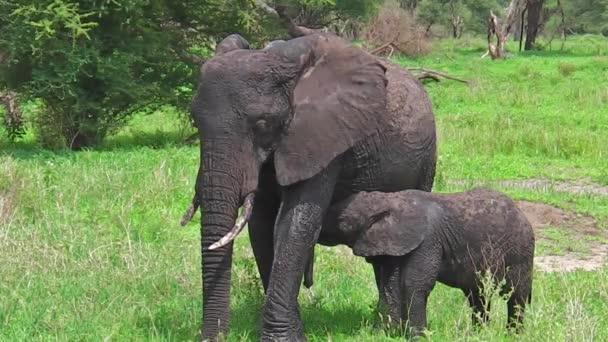 Szopós baba elefánt