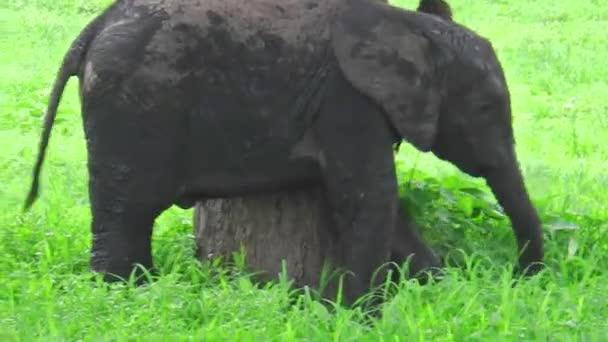 Baby elefánt karcolás