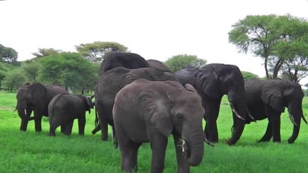 African elephants herd