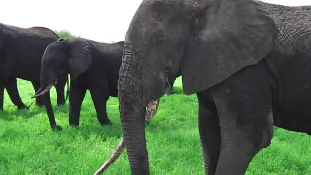 elefánt eszik és karmoló