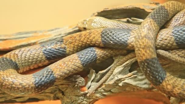 Nyugati barna kígyó