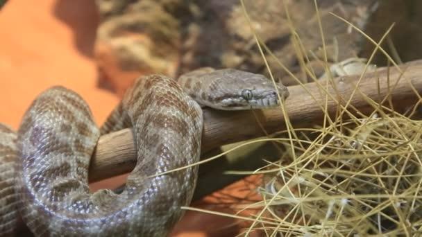 Stimsons piton kígyó