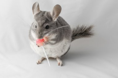 Chinchilla eating lolly