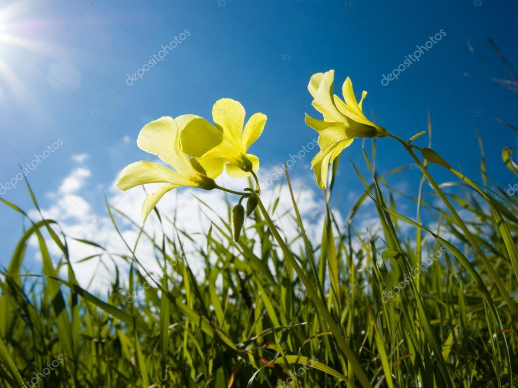 Three yellow flowers of clover in a lawn stock photo ollirg06 three yellow flowers of clover in a lawn stock photo mightylinksfo
