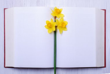 Three yellow narcissus on open book