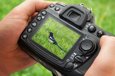 Photo of bird on camera display during the hobby photography in nature.
