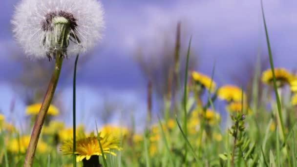 rét, pitypang, virágzó természet vadvirágok