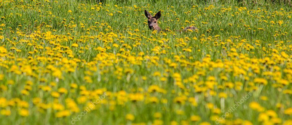 deer in yellow flowers field