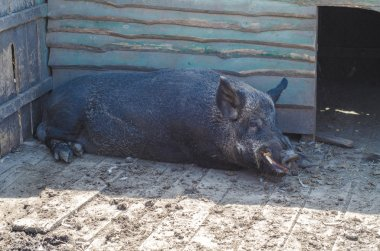 Big black fat pig at the farm