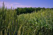Zöld tavaszi búza területe
