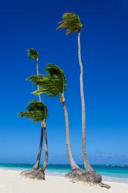 High palms on sandy Caribbean beach