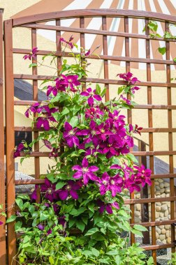 Beautiful purple clematis