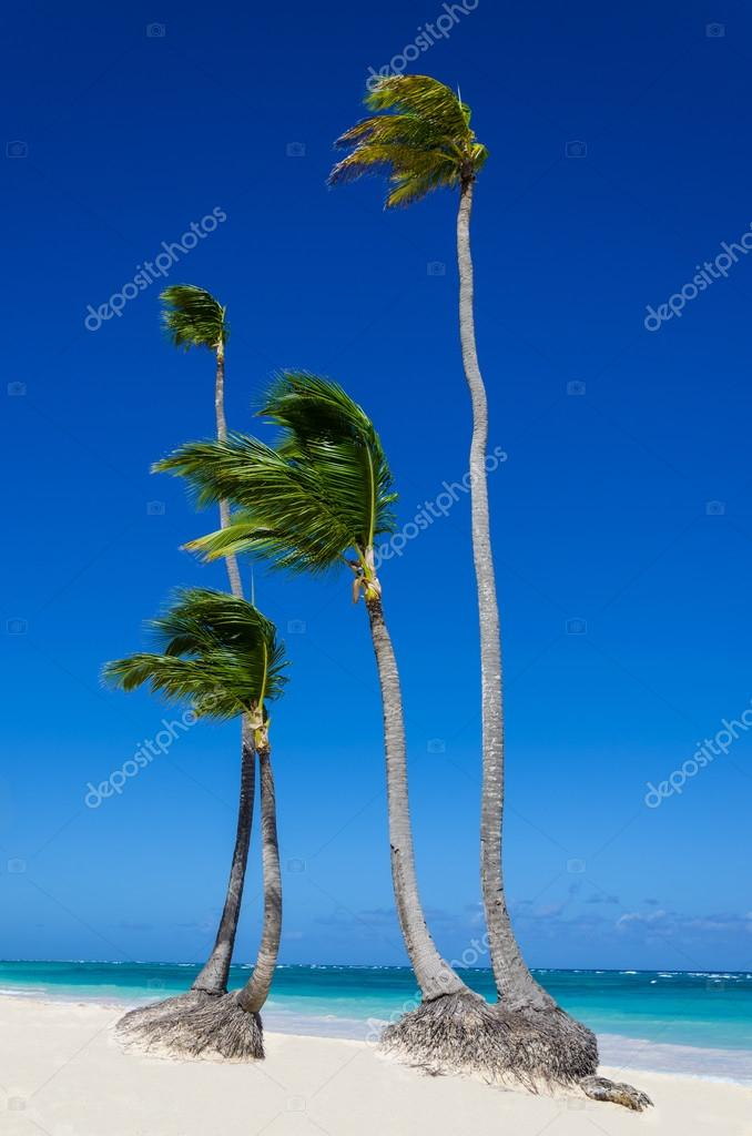 High palms on sandy Caribbean beach
