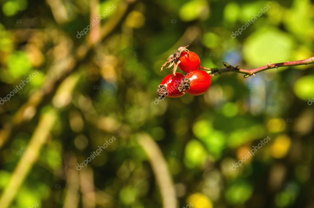 Red Ripe hawthorn