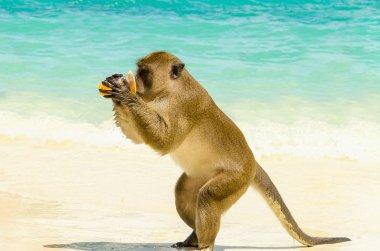 Monkey drinking juice, Thailand
