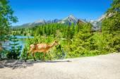 Fotografie Kráva losa chodí cestu vedle horské jezero