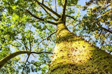 Colossal Ceiba speciosa trunk in a garden in Spain
