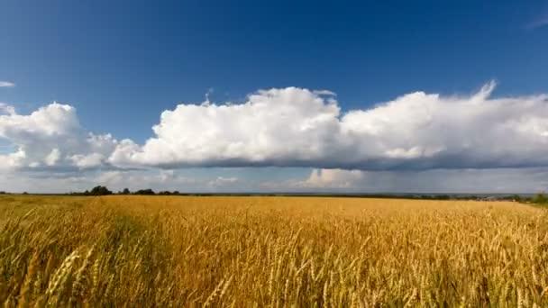 Golden wheat field,clouds, blue sky