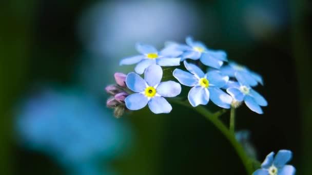 Kis kék felejts-el-nem-virág.