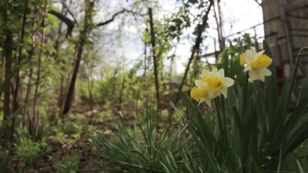 květ narcisu