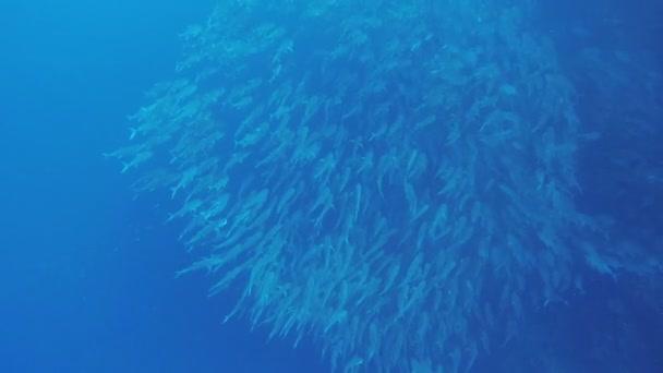 Shoal Jack fish