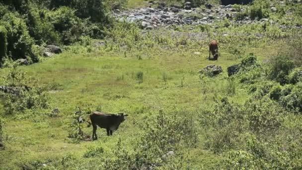 Krávy pasoucí se na louce