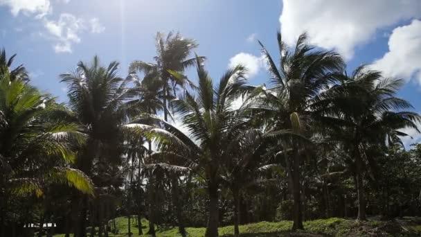 Plantáže kokosových palem stromy v Filipínách