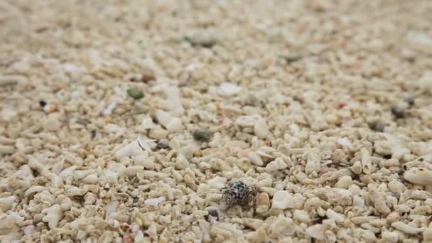Cangrejo ermitaño pequeño en la arena — Vídeos de Stock © Alexpunker ...