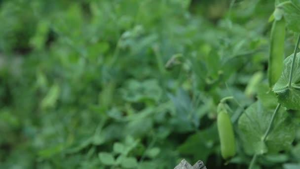 Zöld borsó-kertben.