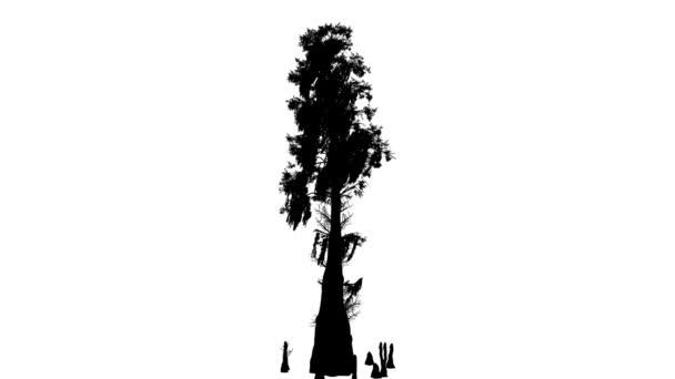 Bald Cypress listnatý strom Taxodium Distichum silueta animovaný stromu je Swaying na vítr větve Top jsou ohromující listy jsou míchání