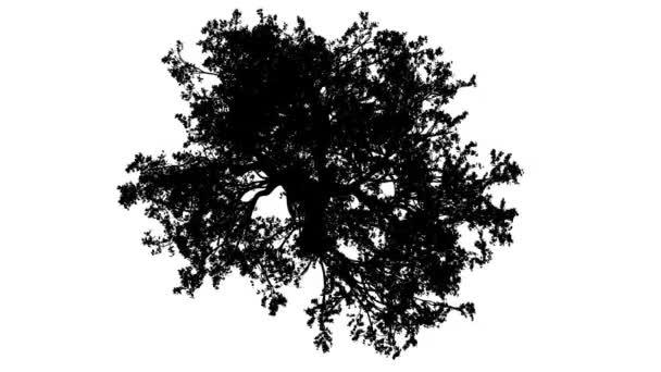 Bílého dubu Quercus Alba koruny shora dolů silueta z animovaný strom je Swaying na vítr větve jsou ohromující listy jsou vlající