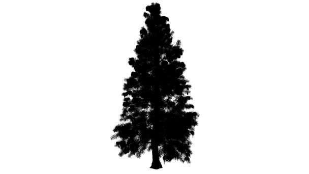 Blau Fichte Picea Pungens Nadel-immergrünen Baum Winter Silhouette animiert Baumes ist schwingend in den Wind Needle-Like Blätter Zweige sind atemberaubend