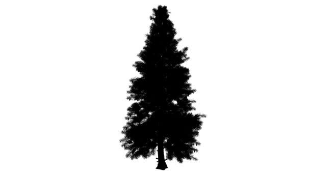 Smrk pichlavý Picea Pungens strom silueta z animovaný strom je Swaying na vítr Needle-Like opustí větve jsou ohromující