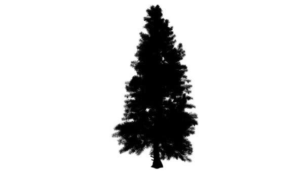 Smrk Picea Pungens kymácející Top jehličnatých stálezelených silueta z animovaný strom Needle-Like opustí větve jsou ohromující smrk Colorado