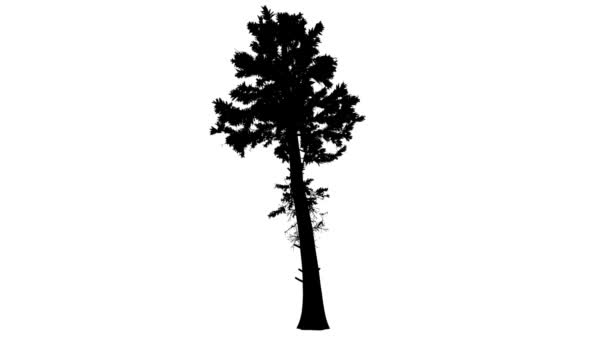 Douglas jedle vysoký strom silueta z animovaný strom je Swaying na vítr větve jsou ohromující Needle-Like spirálovitě uspořádané listy jsou vlající
