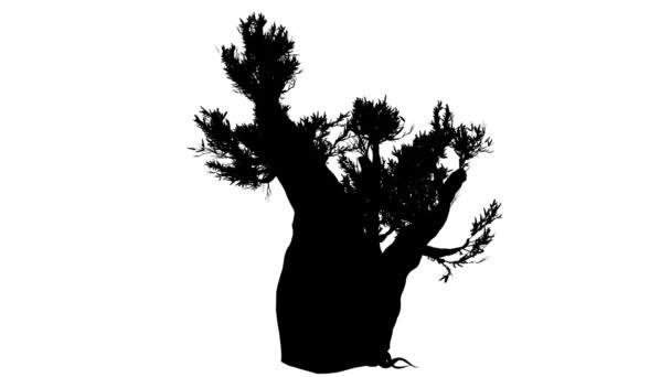 Cupressoides tlusté kufr jehličnatého stromu Pinus Longaeva silueta animovaný stromu je Swaying na vítr ohromujících větve listy jsou vlající