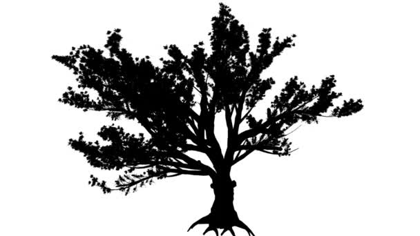 Cedar of Lebanon Cedrus Libani Evergreen Coniferous Tree Silhouette of Animated Tree is Swaying at the Wind Branches Are Staggering Leaves Are Fluttering