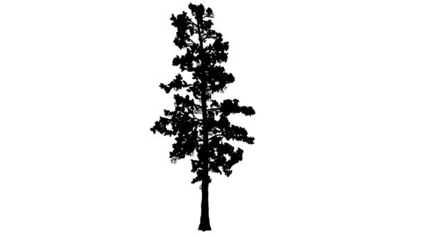 Eastern White Pine Pinus Strobus Silhouette Thin Animated Tree is Swaying at the Wind Branches Are Staggering Needle-Like Leaves Are Fluttering