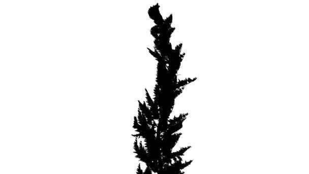 Hollywood jalovce keř silueta animovaný strom jehličnatý stálezelený keř je Swaying na vítr větve jsou ohromující listy jsou vlající