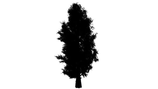 Východní Red Cedar silueta z animovaný strom s protáhlá koruny pomalu rostoucí strom je Swaying na silný vítr Juniperus Virginiana