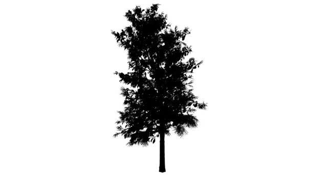Kysloun stromový jarní silueta animovaný stromu je Swaying na vítr větve jsou ohromující listy jsou vlající tenké strom Oxydendrum Arboreum