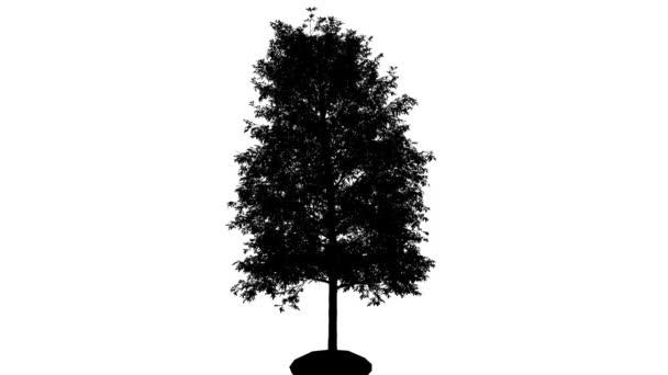Šindel dub silueta z animovaný tenký kmen stromu je Swaying na vítr větve jsou ohromující listy jsou vlající Quercus Imbricaria