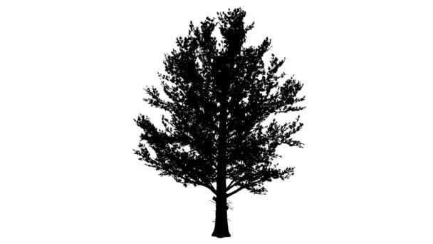 Sugar Maple zaoblené korunní silueta z animovaný strom je Swaying na vítr větve jsou ohromující listy jsou vlající tenký kmen stromu Acer Saccharum