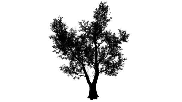 Červená guma eukalyptus silueta z animovaný strom velké husté koruny z listí je Swaying v The Wind větve jsou ohromující listy jsou Tfepetala