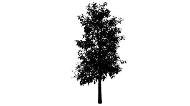 Kysloun stromový silueta z animovaný strom je Swaying na vítr větve jsou ohromující listy jsou vlající tenké strom Oxydendrum Arboreum pádu