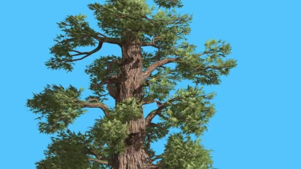 Western Juniper Trunk and Branches Sunny Coniferous Evergreen Tree is Swaying at the Wind Green Needle-Like Scale-Like Leaves Tree in Windy Day