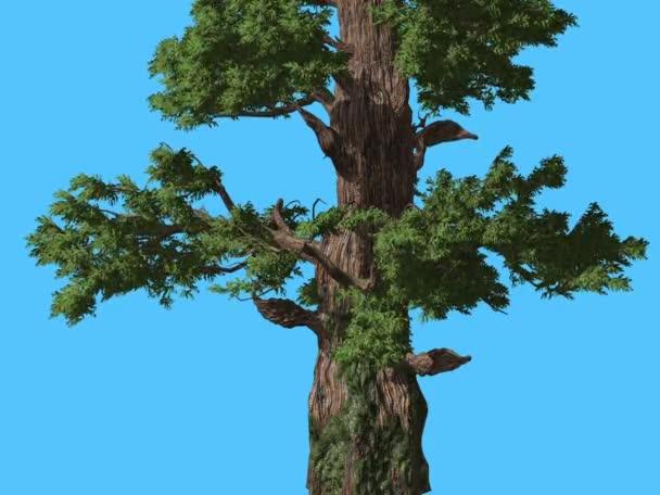 Western Boróka kéreg egy törzs tűlevelű örökzöld fa Swaying áll a szél zöld Needle-Like Scale-Like levelek Juniperus Occidentalis szeles napon