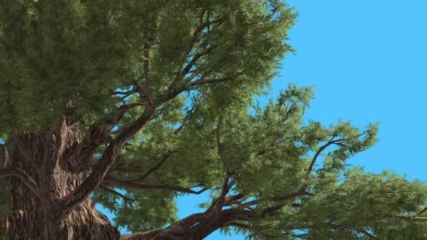 Západní Juniper pohled pod the větve strom je Swaying na vítr zelené Needle-Like Scale-Like listy stromu v větrný den